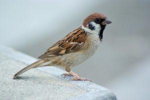 tree sparrow 102189 6401 300x201 - Vogelgrippe